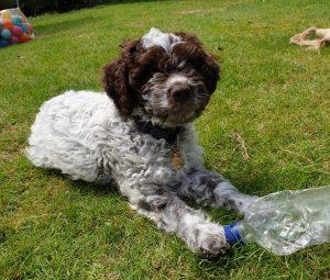 Lagotto puppy