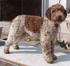 Buying a puppy lagotto