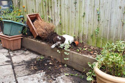 Lagottos like to dig your garden